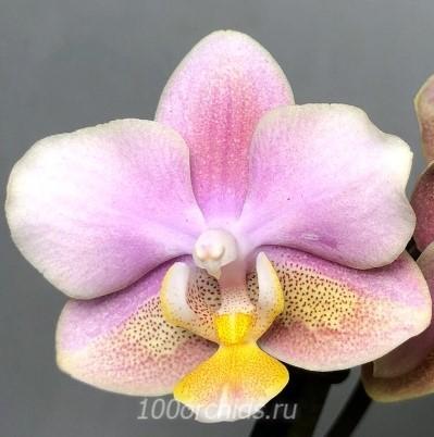Орхидея фаленопсис Парфюмерная фабрика