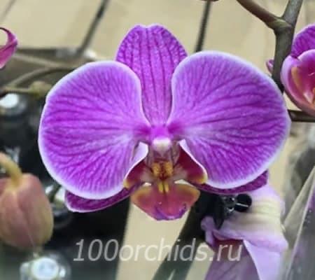 Passionata орхидея фаленопсис