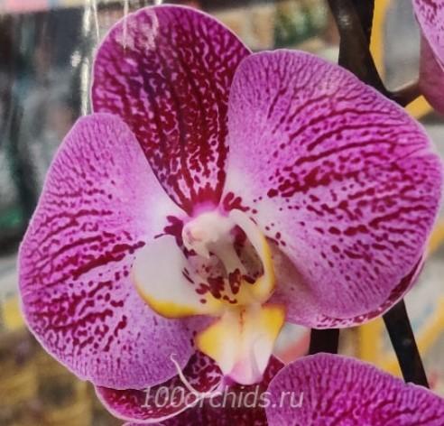 Орхидея фаленопсис Miki Steamed Bread