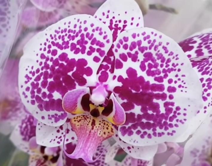 Орхидея фаленопсис в крапинку