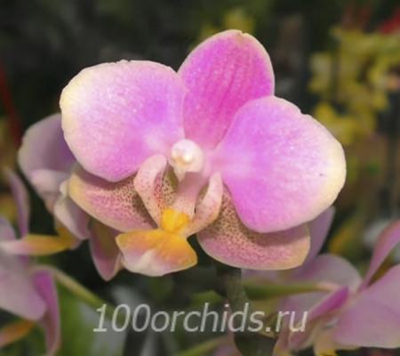 Skention mini орхидея фаленопсис