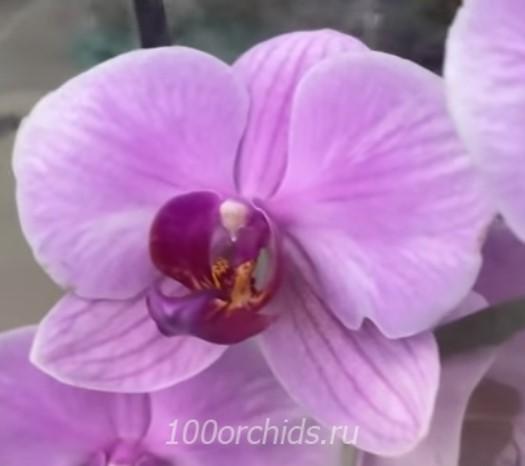 Орхидея фаленопсис Вашингтон