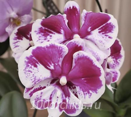 Sweet Candy орхидея фаленопсис
