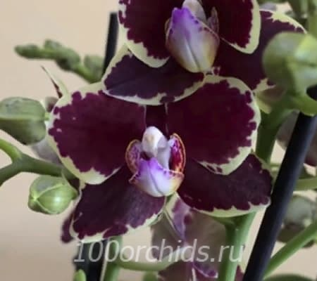 Bellinzonа, multiflora (отцвел)
