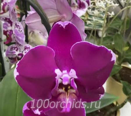 Fancy Fire орхидея фаленопсис