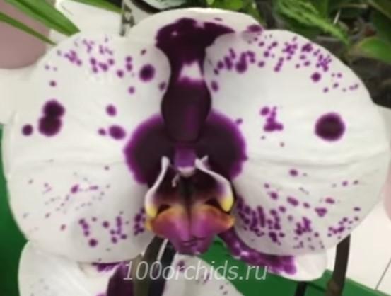 Орхидея фаленопсис Chian Xen Mammon
