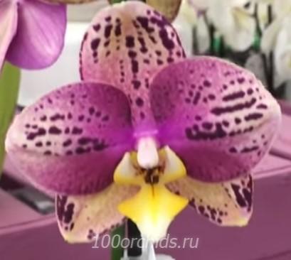 Орхидея Phalaenopsis Pinyf