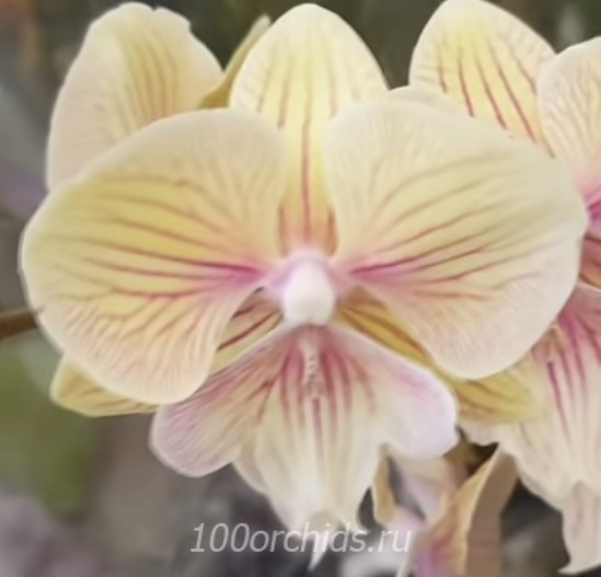 Орхидея фаленопсис JC starts Shining Биг лип