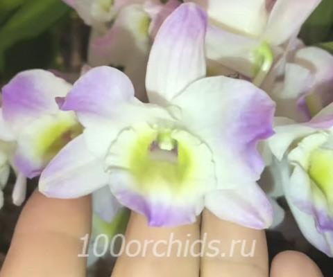 Pink bunny орхидея дендробиум нобиле