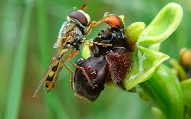 Опыление орхидей в природе