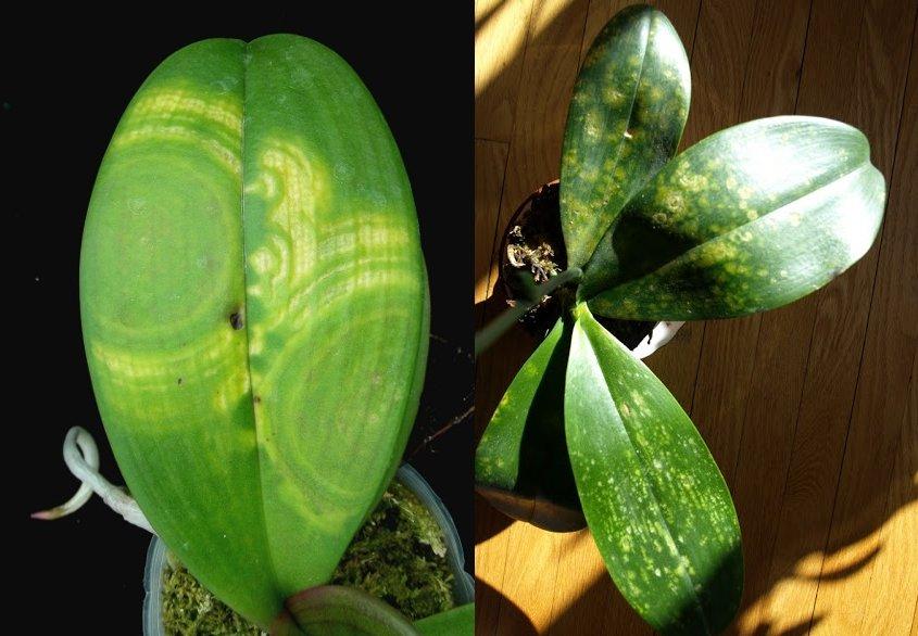 Пятна на листьях орхидеи