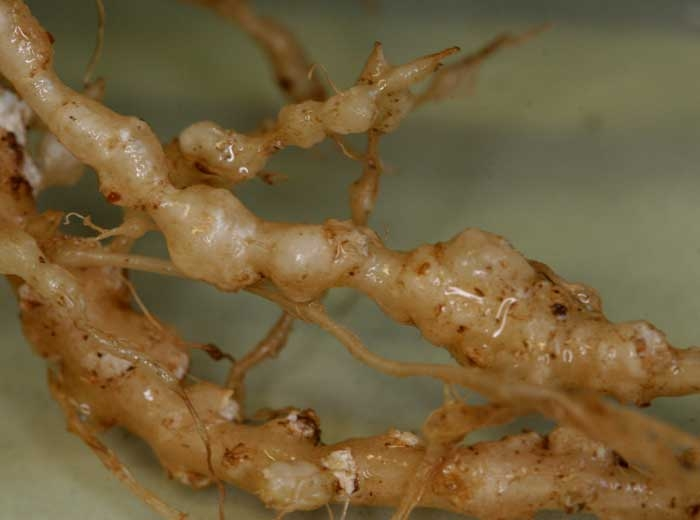 Нематоды на корнях