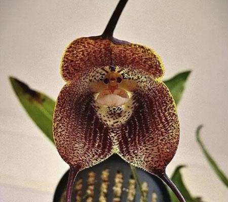 Орхидея похожа на обезьянку