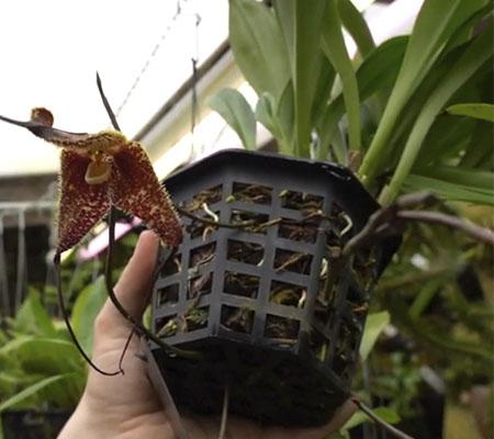 орхидея дракула пересадка