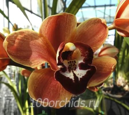 Hybrid Orchid (Warren Arthur Wilson)