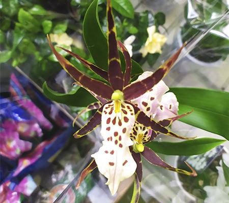 Орхидея похожа на паука