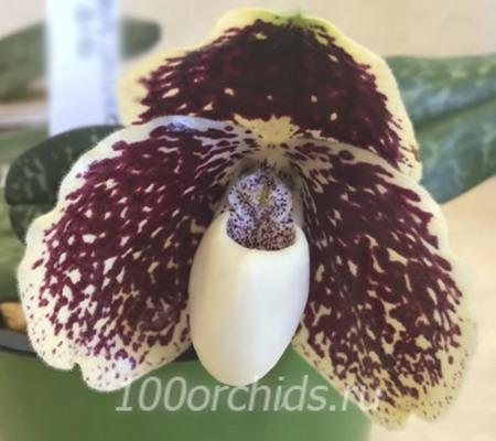 Орхидея Пафиопедилум