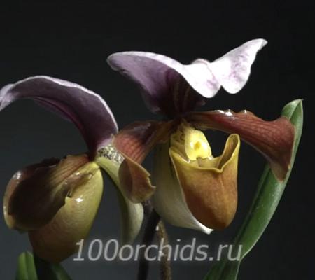 Paph. charlesworthii