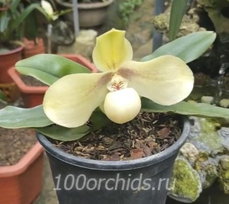 Paph. hangianum