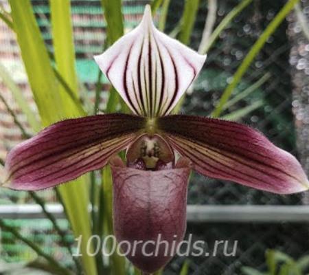 Paph. purpuratum