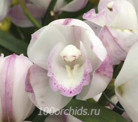Цимбидиум орхидея