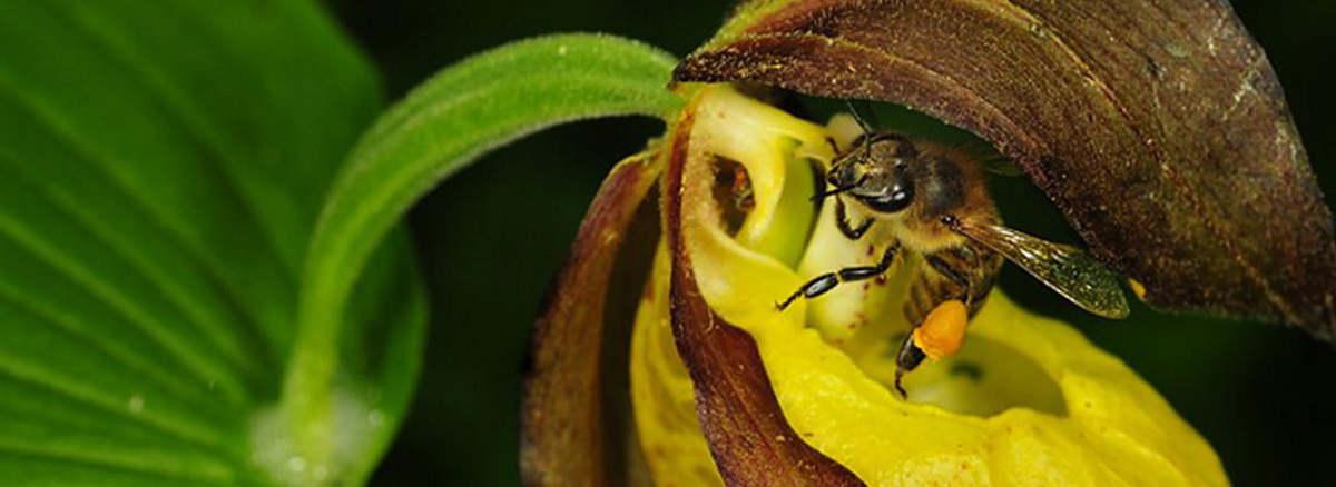 Венерин Башмачок в природе