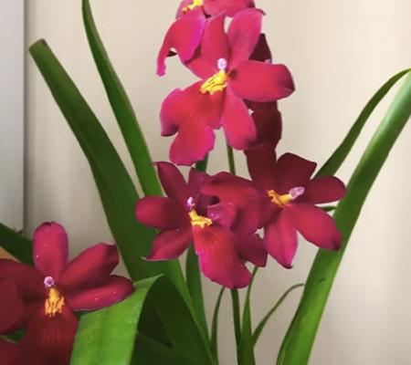 Буррагеара 6 орхидея цветоносы