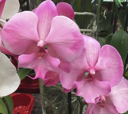 Крашеная орхидея125