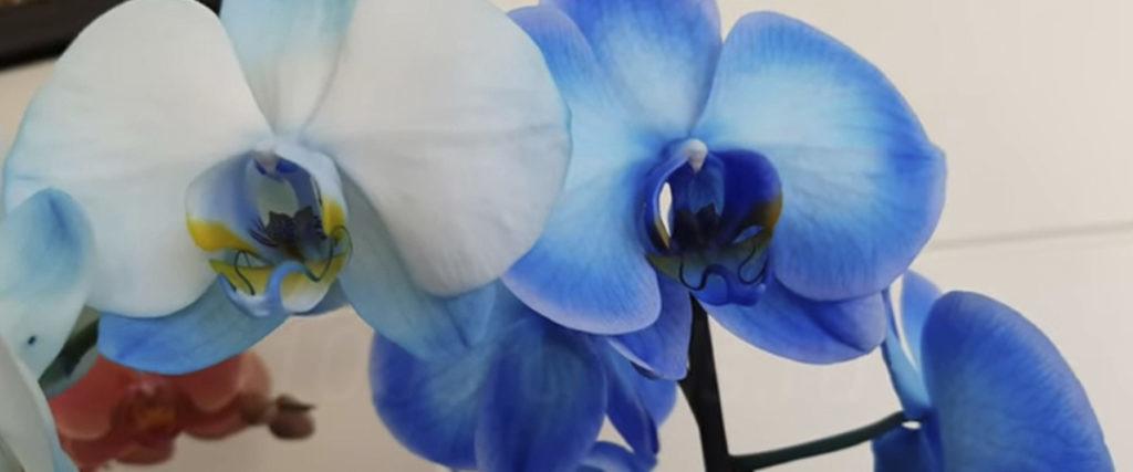 Орхидеи крашеные
