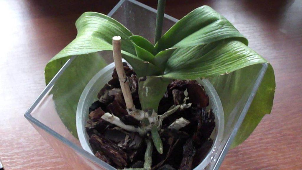 Вялые листья у орхидеи