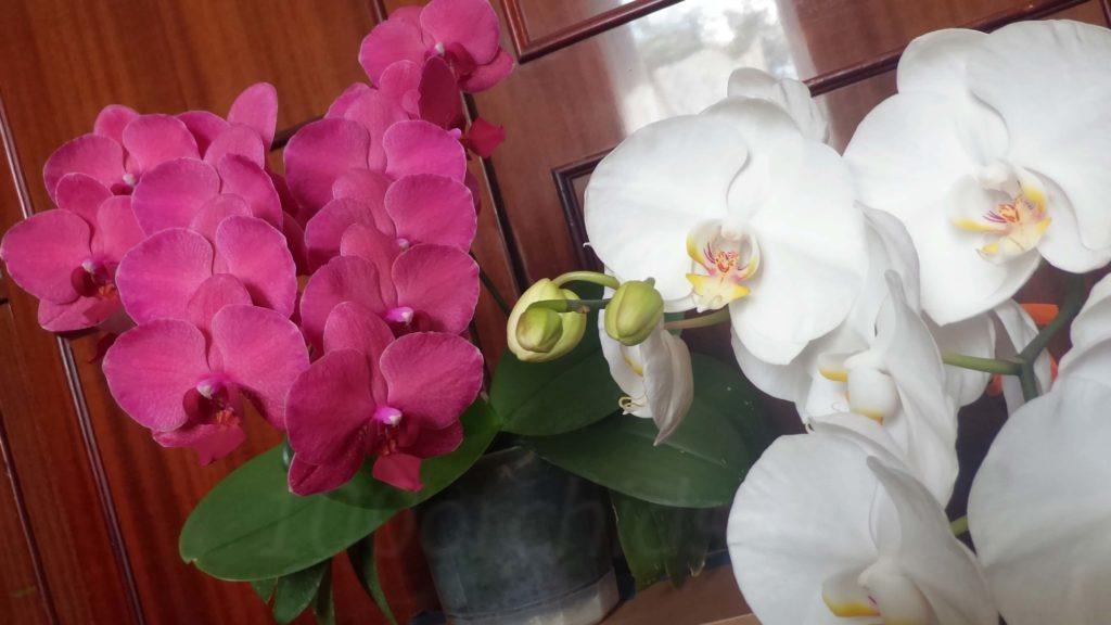цветение орхидей1 (1)