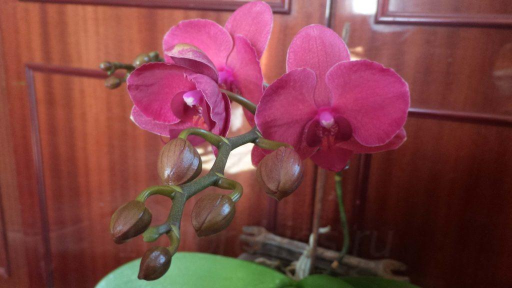заставить орхидею зацвести14