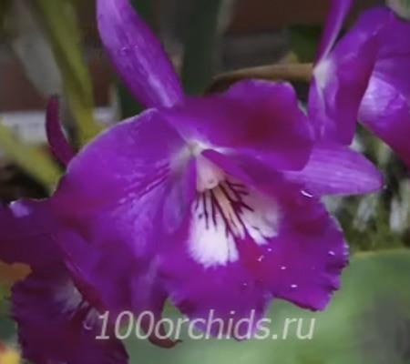 Каттлея фиолетовая