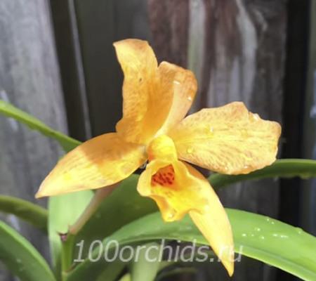 Laeliocattleya Golddigger 'Buttercup'