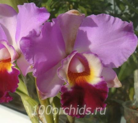 Каттлея орхидея