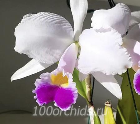 Орхидея каттлея Триани