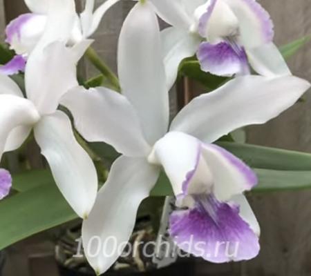 Cattleya intermedia coerulea