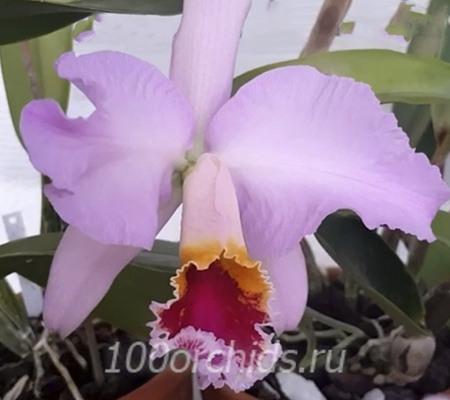 Орхидея каттлея мосси