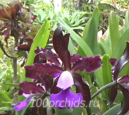 Cattleya шилириана