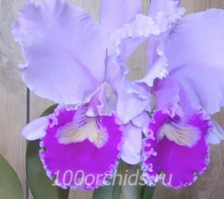 Cattleya trianaei Patricia