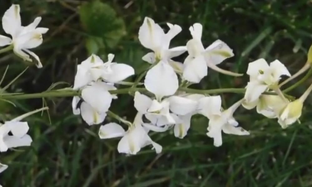 Орхидея Хабенария