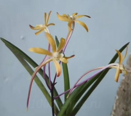 Неофинетия орхидея 3
