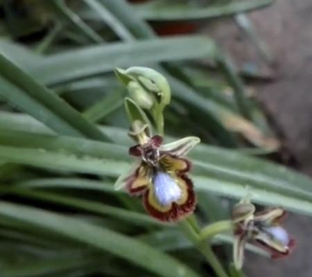 Офрис орхидея9