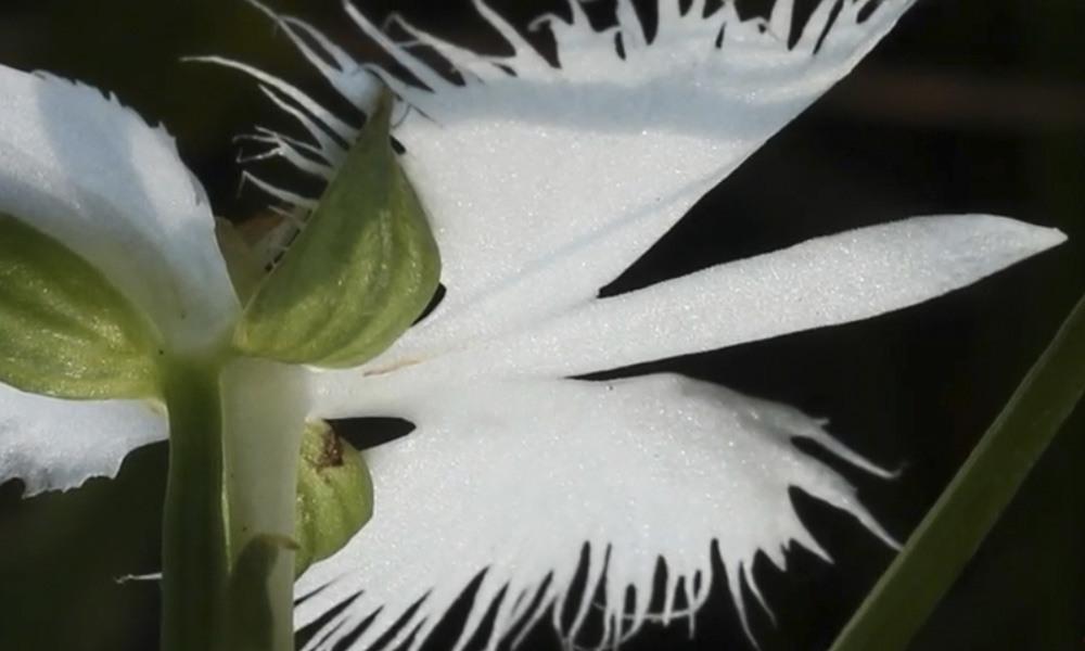 Орхидея Белая цапля заставка