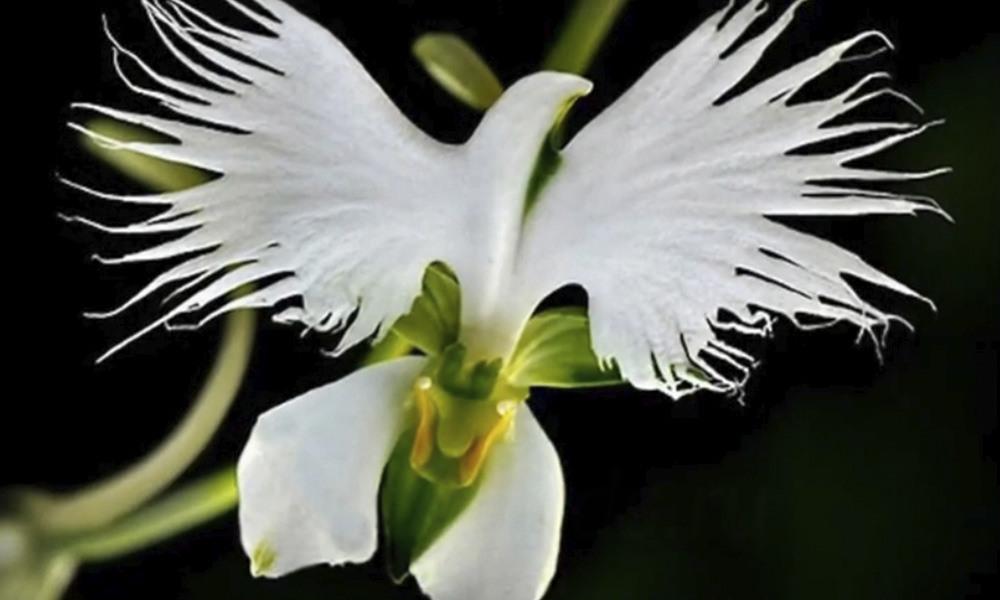 Орхидея хабенария2 заставка