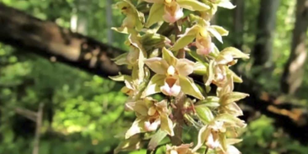 Дремлик1 орхидея