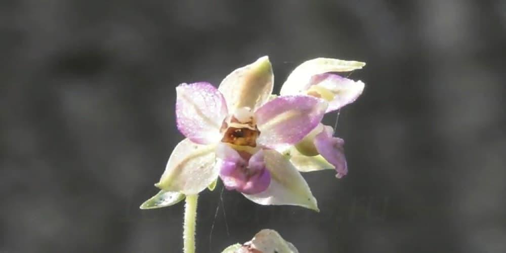 Дремлик11 орхидея