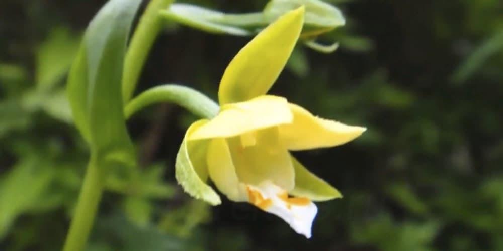 Дремлик2 орхидея