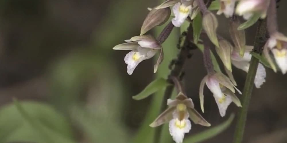 Орхидея Дремлик