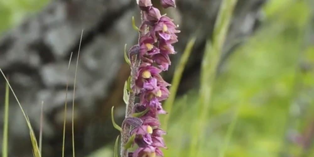 Дремлик8 (1) орхидея